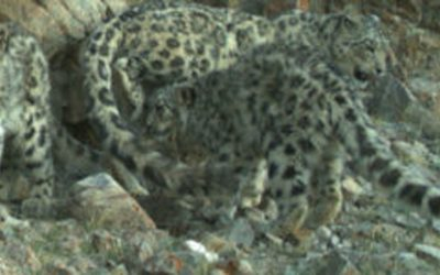 Population Assessment of World's Snow Leopards To Be Launched