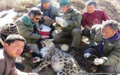 Nepal snow leopard survey gets satellite tracking boost
