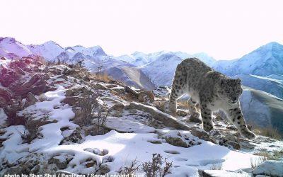 Величественные изображения снежного барса, впервые сделанные в новом заповеднике