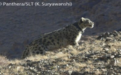 20th snow leopard collared in Mongolia study