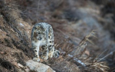 International Snow Leopard Day – 2016