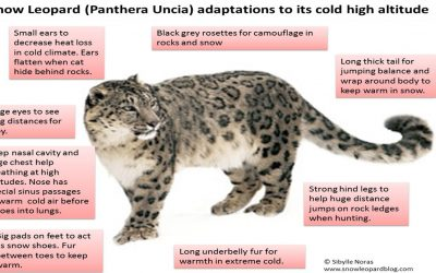 The coldest season for snow leopards – how do they adapt