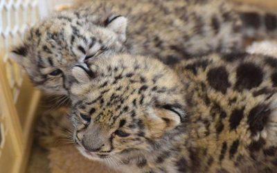 В зоопарке Миллер Парк находятся два детеныша снежного барса