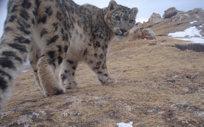 Second volume of Ilbirs: Newsletter of the Global Snow Leopard and Ecosystem Protection Program