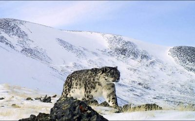 Majestic images of snow leopard taken for first time in new reserve