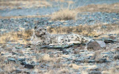 Copycat? Collared Snow Leopard Tsetsen Mimics Predecessor