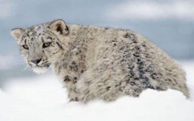 Почему снежные барсы на большой высоте дышат, как кошечки?