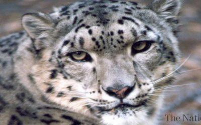 Snow Leopards rebounding in Afghanistan